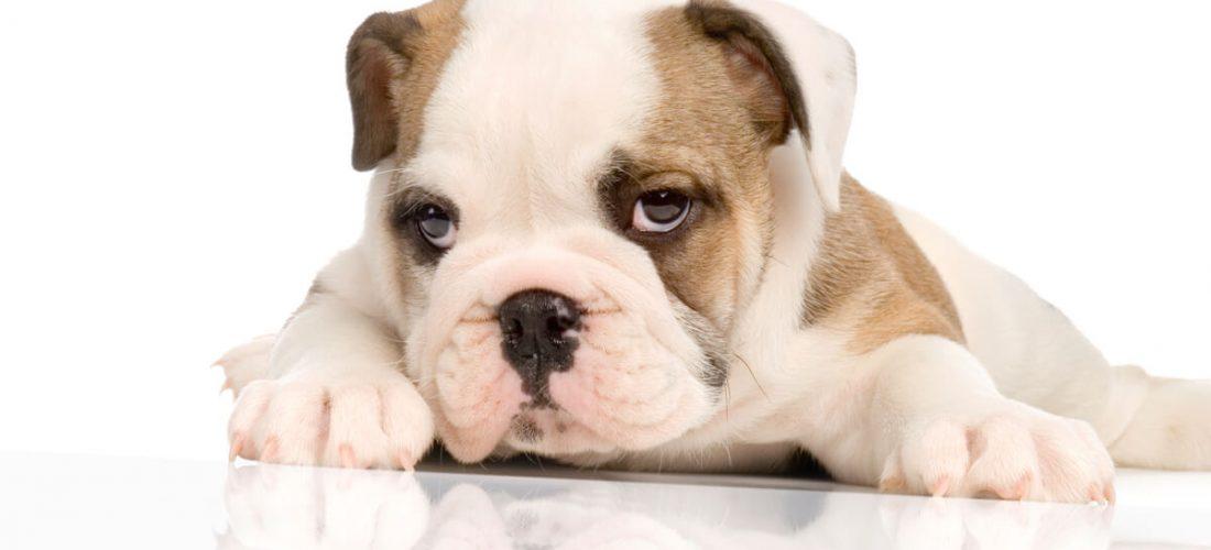 Best Food For English Bulldog Puppy