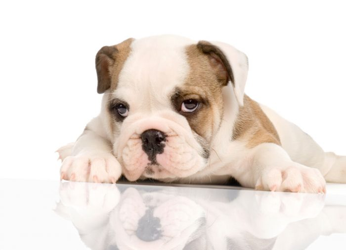 Best Food For English Bulldog Puppy