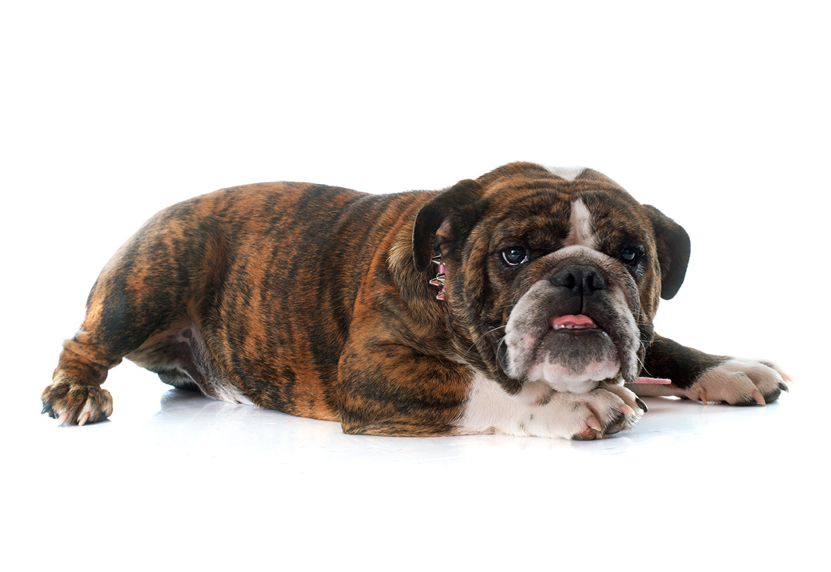 10 Tips For Caring For Your English Bulldog Best Brush For English Bulldog Top Rated Bully Brands